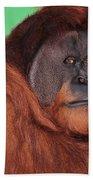 Portrait Of A Large Male Orangutan Beach Towel