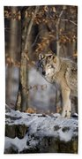 Timber Wolf Pictures Beach Towel by Wolves Only