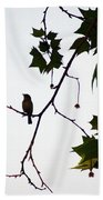A Brown Thrasher Sings In Sycamore Tree Beach Towel