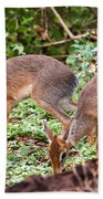 A Couple Of Dik-dik Antelopes In Tanzania. Africa Beach Towel
