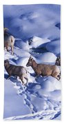 A Group Of Bighorn Sheep Ovis Beach Towel