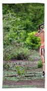 A Male Impala In Lake Manyara National Park. Tanzania. Africa. Beach Towel