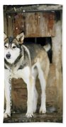 A Sled Dog Stands By Its Kennel Beach Towel