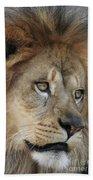 African Lion #5 Beach Towel