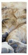 African Lion Cub Sleeping Beach Towel