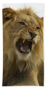 African Lion Male Growling Beach Towel by San Diego Zoo
