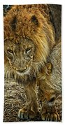 African Lions 6 Beach Towel