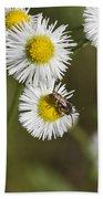 Alabama Wildflower Robin's Plantain - Erigeron Pulchellus Beach Towel