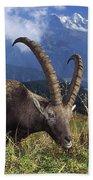 Alpin Ibex Male Grazing Beach Towel by Konrad Wothe