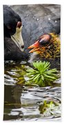American Coot And Chick Beach Towel