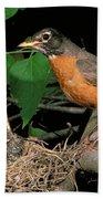 American Robin Feeding Its Young Beach Towel