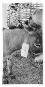 Amish Donkey At Action Beach Towel