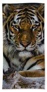 Amur Tiger Watching You Beach Towel