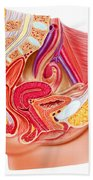 Anatomy Of Female Reproductive System Beach Towel