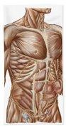 Anatomy Of Human Abdominal Muscles Beach Towel