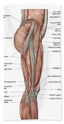 Anatomy Of Human Thigh Muscles Beach Towel