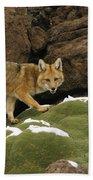 Andean Red Fox Altiplano Bolivia Beach Towel
