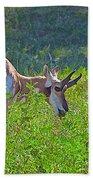 Antelope Near Wildlife Loop Road In Custer State Park-south Dakota- Beach Towel