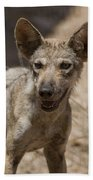 Arabian Wolf Canis Lupus Arabs Beach Towel