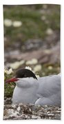 Arctic Tern In Its Nest Beach Towel