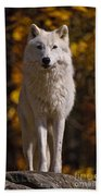 Arctic Wolf Pictures 33 Beach Towel