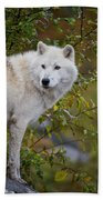 Arctic Wolf Pictures 922 Beach Towel
