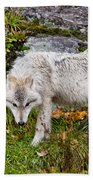 Arctic Wolf Pictures 927 Beach Towel
