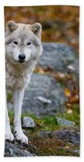 Arctic Wolf Pictures 942 Beach Towel