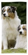 Australian Shepherd Dogs Beach Towel