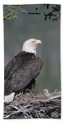 Bald Eagle On Nest With Chick Alaska Beach Towel by Michael Quinton