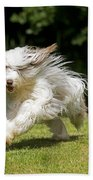 Bearded Collie Running Beach Towel