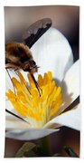 Bee Fly And Bloodroot Beach Towel