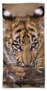 Bengal Tiger Cub And Peacock Feather Endangered Species Wildlife Rescue Beach Towel