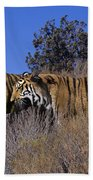Bengal Tigers On A Grassy Hillside Endangered Species Wildlife Rescue Beach Towel