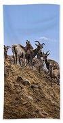 Bighorn Sheep At Blue Mesa Reservoir Beach Towel