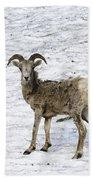 Bighorn Sheep Beach Towel