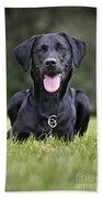 Black Labrador Dog Beach Towel