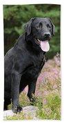 Black Labrador Retriever Beach Towel