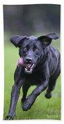 Black Labrador Running Beach Towel