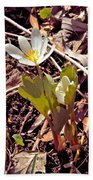 Bloodroot Reaching For The Spring Sun Beach Towel