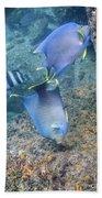 Blue Angelfish Feeding On Coral Beach Towel