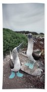 Blue-footed Booby Pair Courting Beach Towel