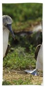 Blue-footed Booby Pair In Courtship Beach Towel