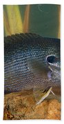 Bluegill Lepomis Macrochirus Beach Towel