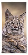 Bobcat Cub Portrait Montana Wildlife Beach Towel by Dave Welling