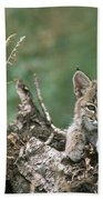 Bobcat Kitten Resting On A Log Idaho Beach Towel