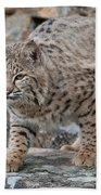 Bobcat On Rock Beach Towel