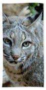 Bobcat's Gaze Beach Towel