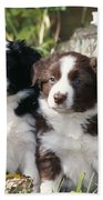 Border Collie Dog, Two Puppies Beach Towel