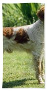Brittany Dog, Standing Side Beach Towel